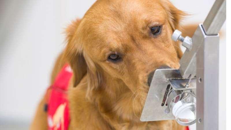 Os cães sendo testados são labradores e cocker spaniels