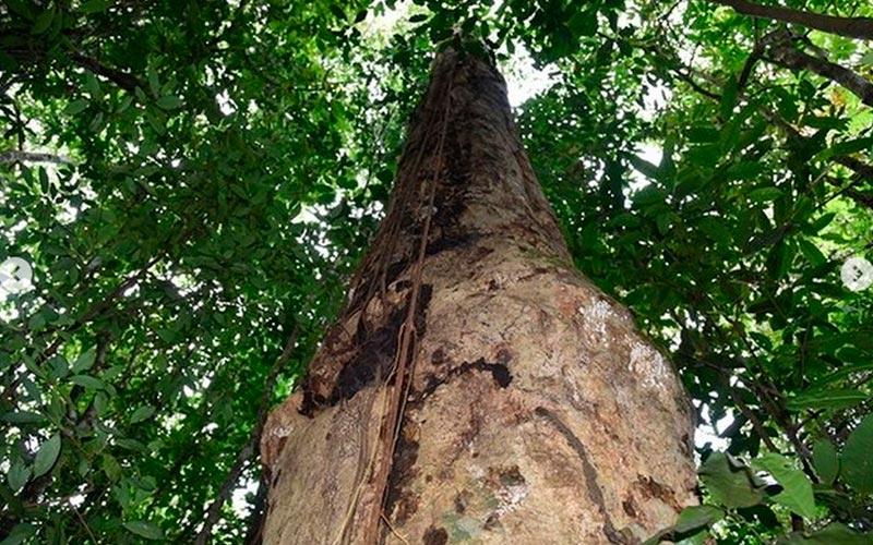 Descoberta de nova espécia de ávore aconteceu em área de Mata Atlântica no interior de Alagoas