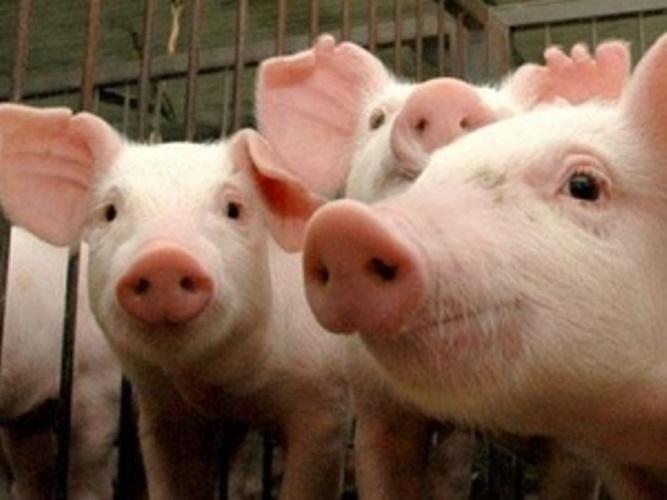 Porcos de origem duvidosa estão proibidos de entrar no estado
